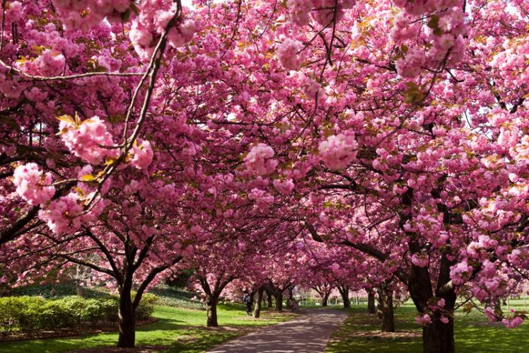 fioritura-ciliegi-italia